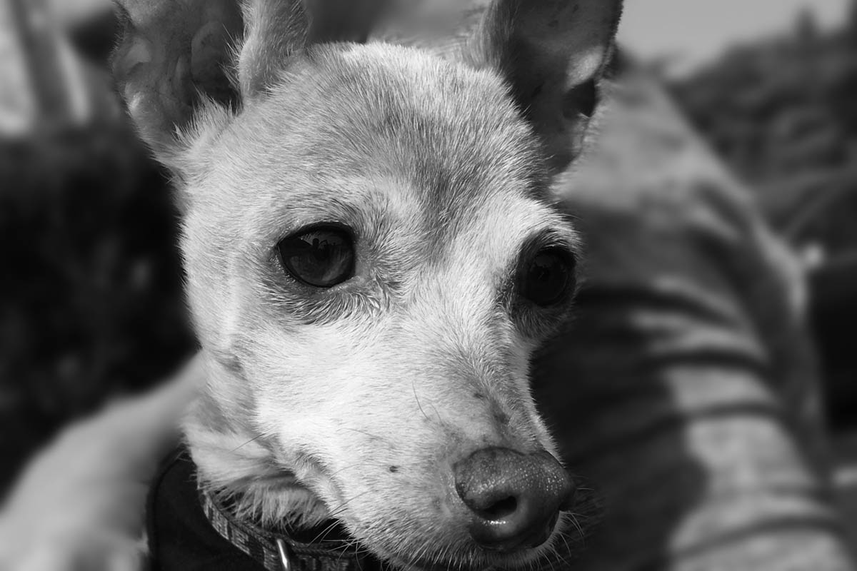 chihuahua suffering from lymphoma in dogs being held by a person